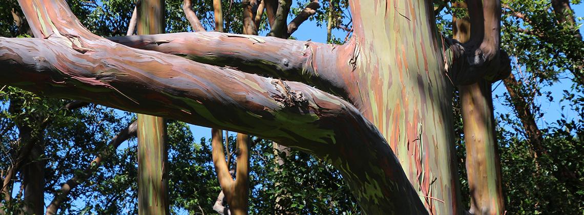 gökkuşağı okaliptüs ağacı